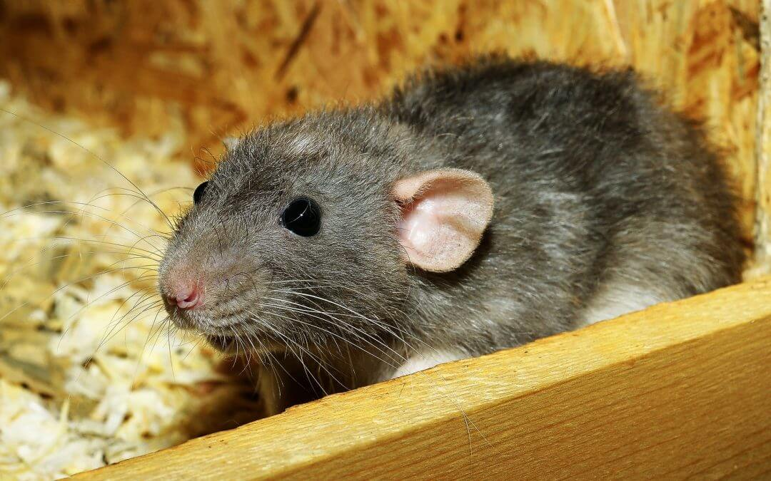 A Simple Guide to Getting Rid of Rats in Your Garden